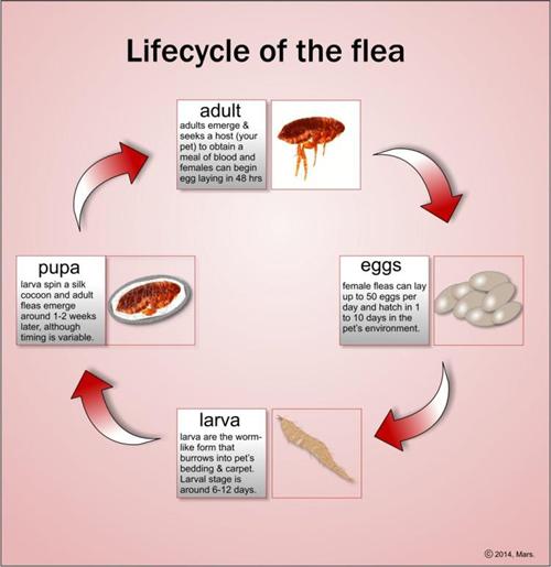 flea bites pic #10